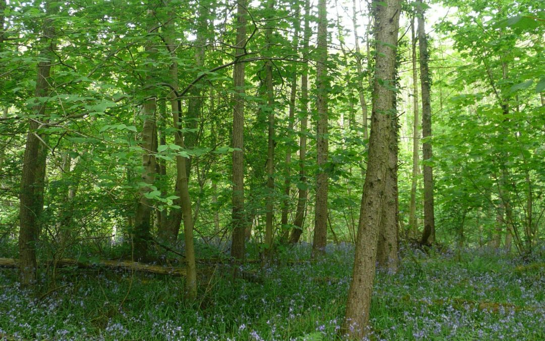 Bluebell Woods in North Yorkshire